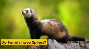 Do Ferrets have Spines?