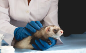 Common Accidents and Ferret Death Causes