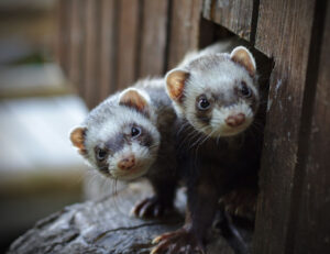 Ferret Myths and Common Misconceptions