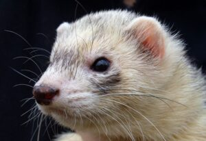 Ways to Build a Bond with Your Ferret